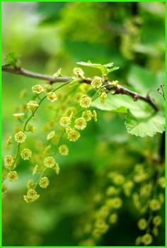 12.5.21.アカスグリの花.JPG